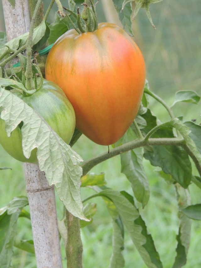 Une tomate, mais laquelle ?? Dscn7116
