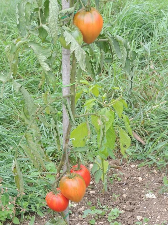 Une tomate, mais laquelle ?? Dscn7117