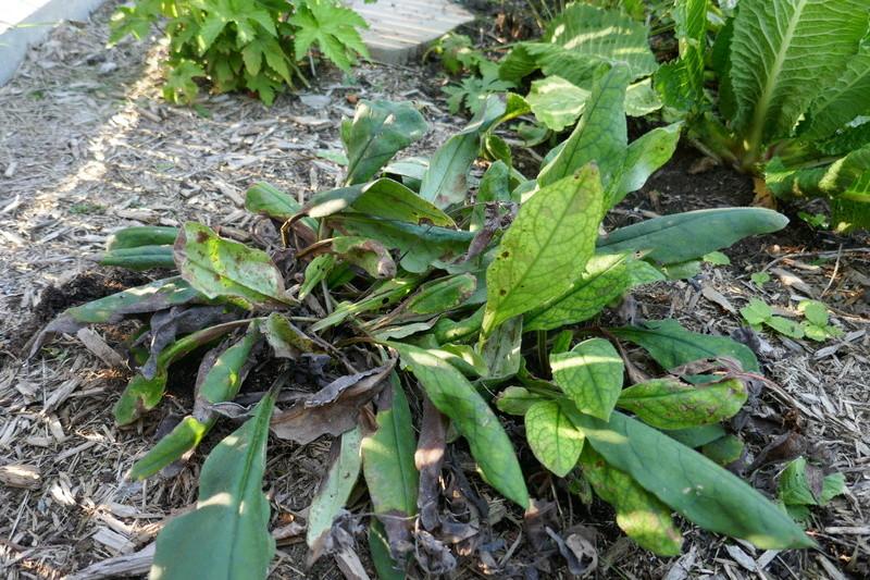 Pulmonaria angustifolia 'Azurea'  Img_7627