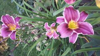 quelques héméro de mon jardin 2017-014