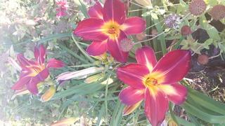 quelques héméro de mon jardin 2017-018
