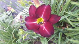 quelques héméro de mon jardin 2017-033