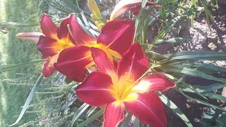 quelques héméro de mon jardin 2017-040