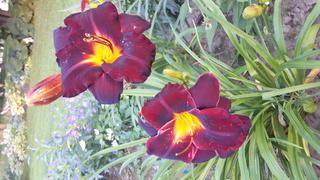 quelques héméro de mon jardin 2017-045