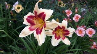 quelques héméro de mon jardin 2017-048