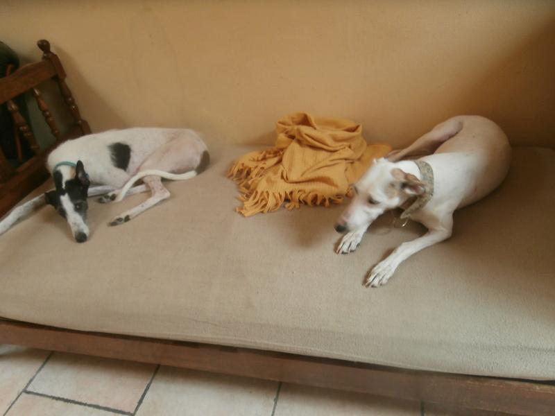 Debby adorable galga blanche tendre et câline Adoptée  P9190016