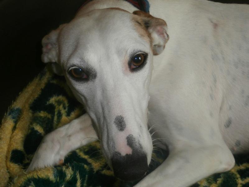 Debby adorable galga blanche tendre et câline Adoptée  P9240010
