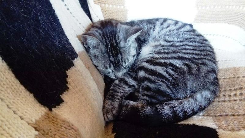 loula - LOULA, chatte européenne tigrée grise, née en Juillet 2015 Bododo10