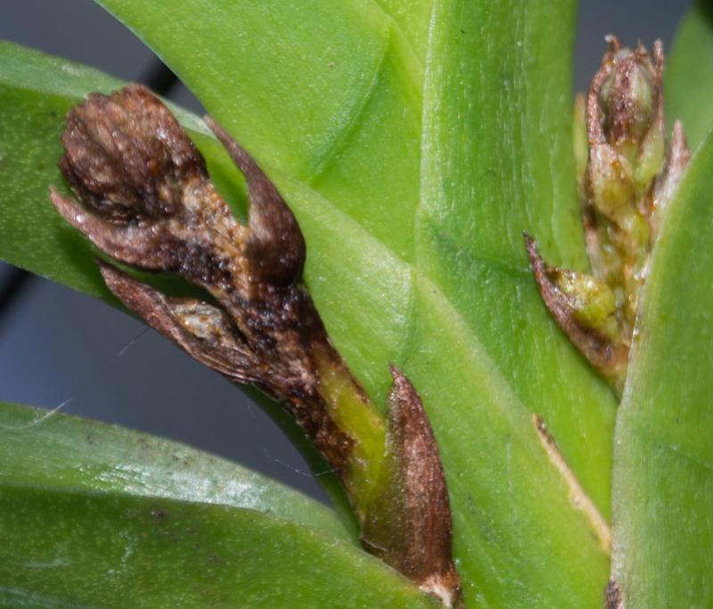 Frankliniella occidentalis oder doch normale Thirpse? P8190011