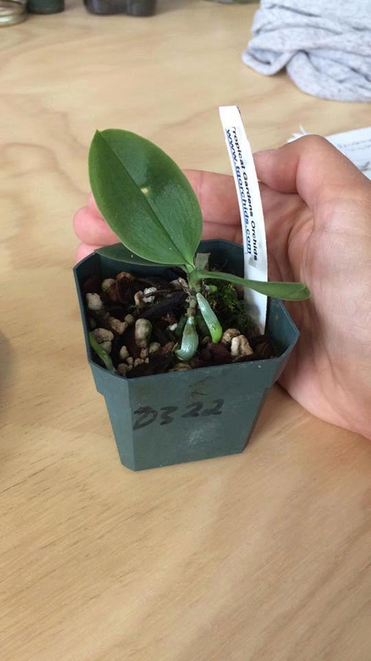 Phalaenopsis lobii Phal_l12