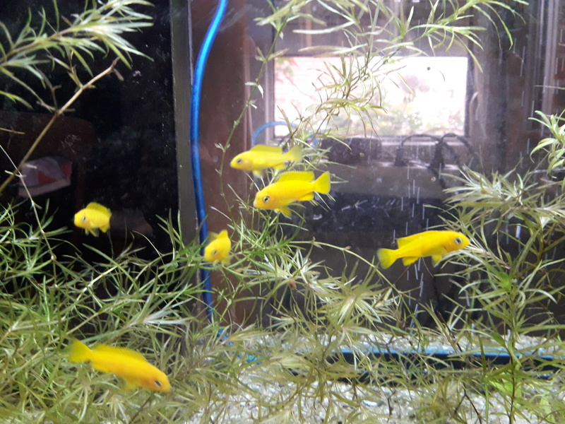 Alevins pseudotropheus saulosi F3 Taïwan reef 20170911