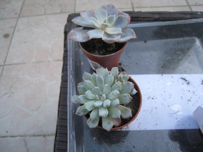 succulentes 00412