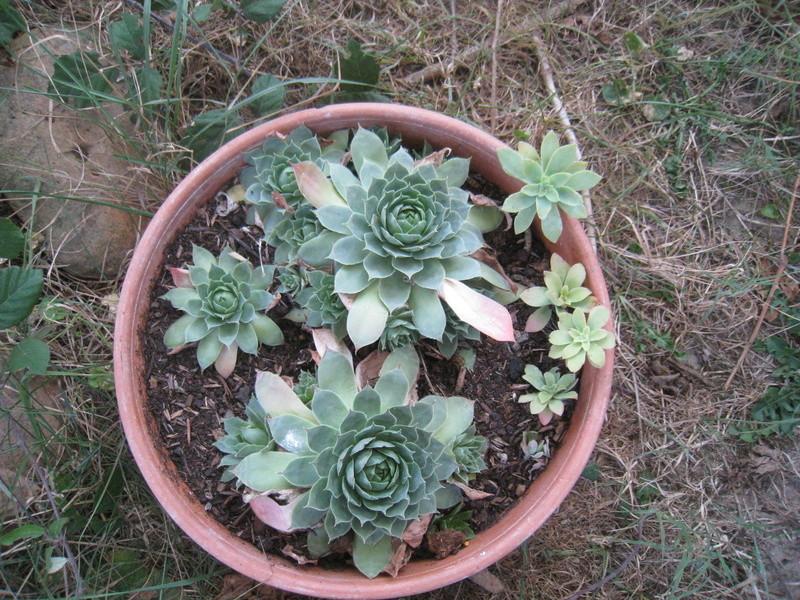 succulentes 00713