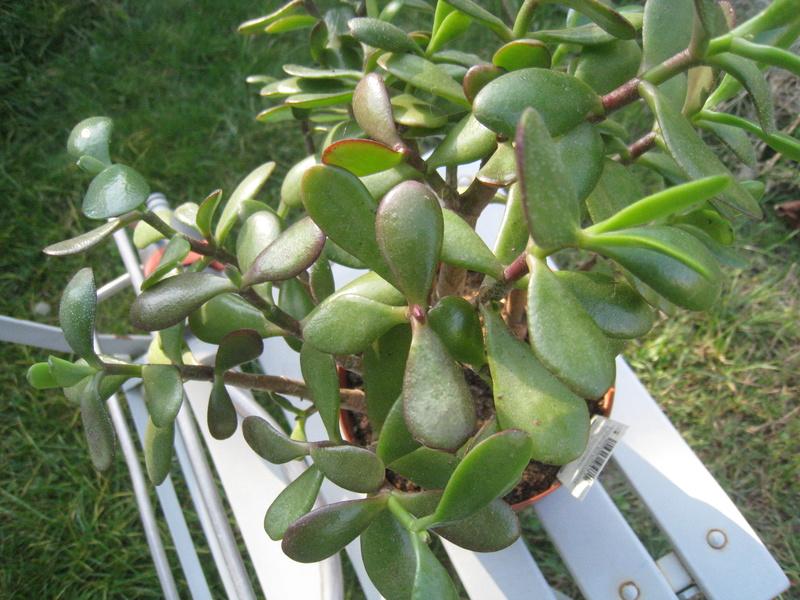 succulentes 00813