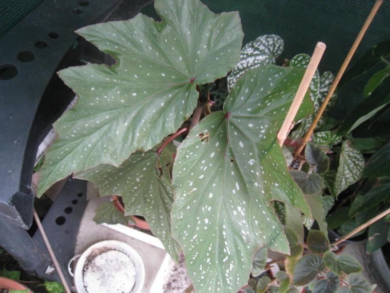 bégonia lucernae 01411