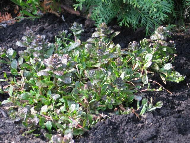 Guide d'identification: jeunes pousses, feuillages et fleurs Ajug210