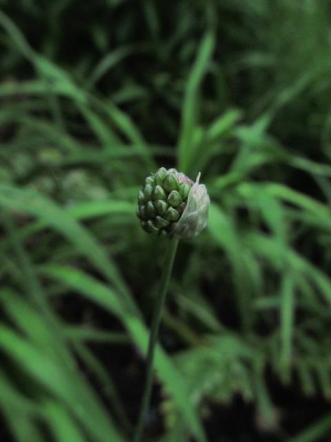 Guide d'identification: jeunes pousses, feuillages et fleurs - Page 8 Allium10