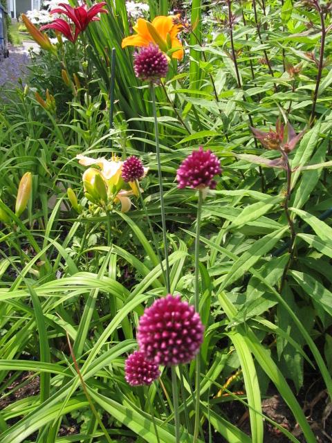 Guide d'identification: jeunes pousses, feuillages et fleurs - Page 8 Allium11
