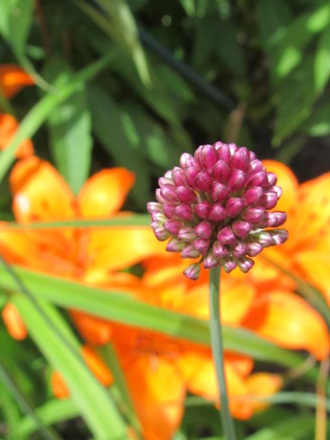 Guide d'identification: jeunes pousses, feuillages et fleurs - Page 8 Allium14