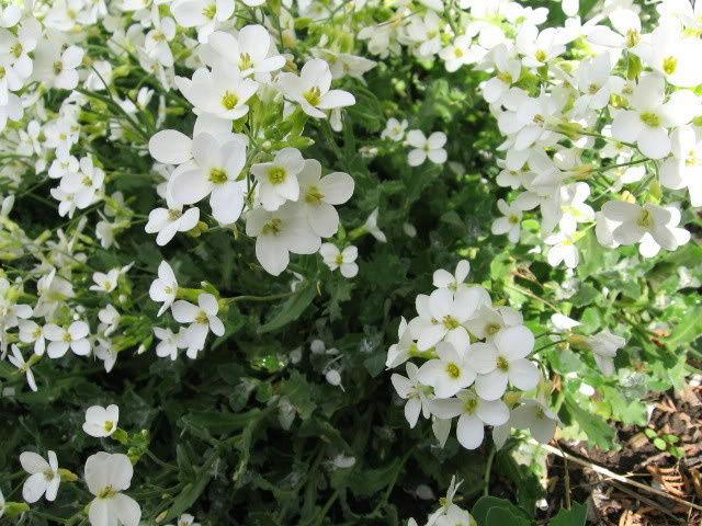 Guide d'identification: jeunes pousses, feuillages et fleurs Arabis12