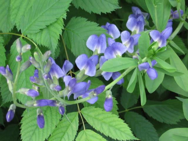 Guide d'identification: jeunes pousses, feuillages et fleurs Bap510