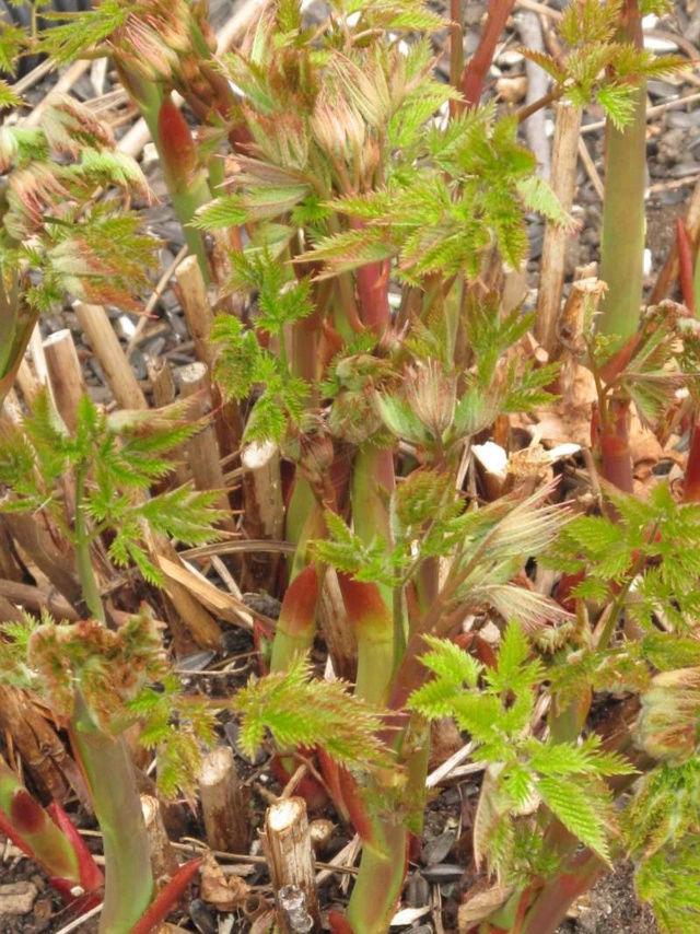 Guide d'identification: jeunes pousses, feuillages et fleurs Barbe211