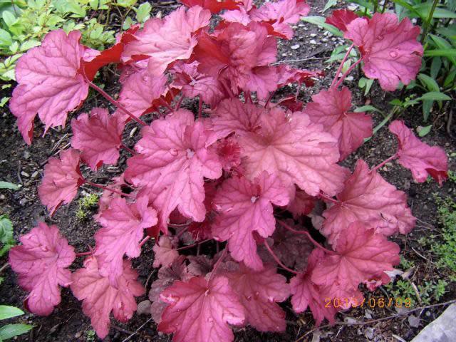 Guide d'identification: Heuchères, tiarelles & heucherellas Berrys12