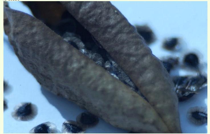 Récolte des semences, plante par plante Big10