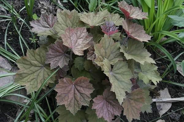 Guide d'identification: Heuchères, tiarelles & heucherellas Browni13