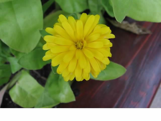 Récolte des semences, plante par plante Calend11