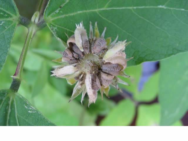 Récolte des semences, plante par plante Calend12