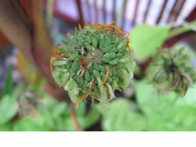 Récolte des semences, plante par plante Calend13
