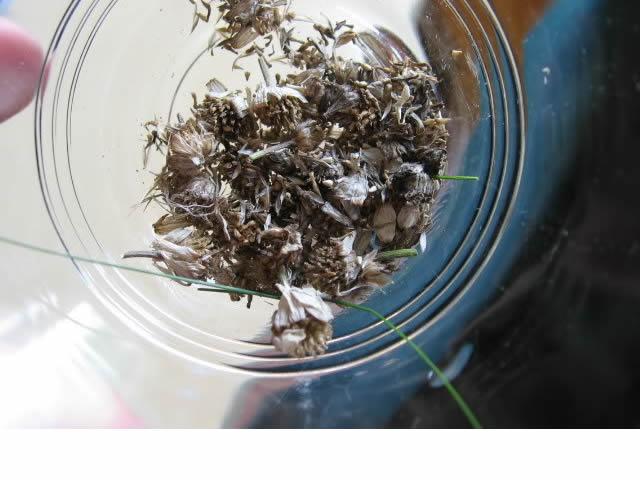 Récolte des semences, plante par plante Camomi11