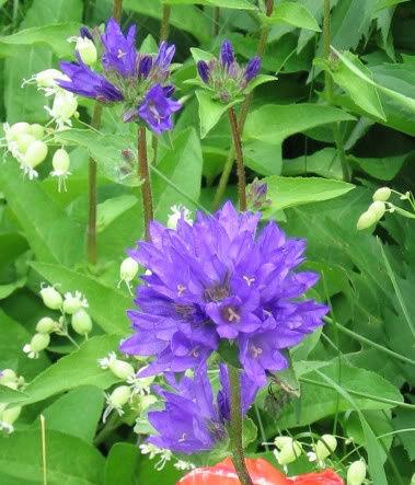 Guide d'identification: jeunes pousses, feuillages et fleurs Campg410