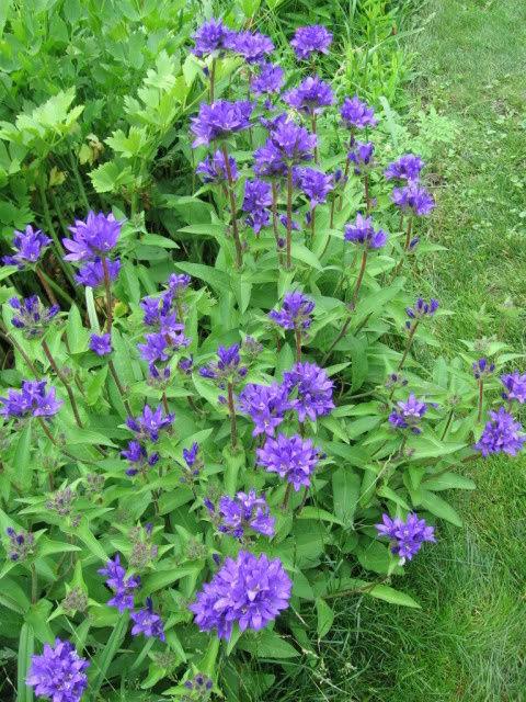 Guide d'identification: jeunes pousses, feuillages et fleurs Campg510