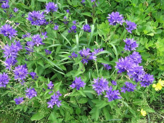 Guide d'identification: jeunes pousses, feuillages et fleurs Campg610