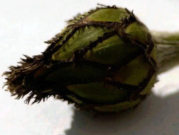 Récolte des semences, plante par plante Captur19