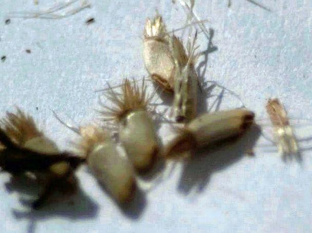 Récolte des semences, plante par plante Captur21