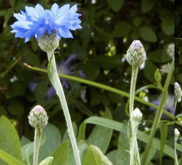 Récolte des semences, plante par plante Centau15