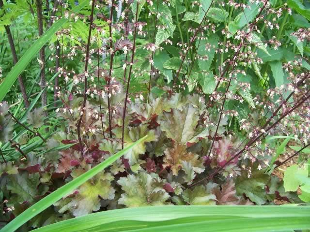 Guide d'identification: Heuchères, tiarelles & heucherellas Chocol13