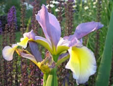 GUIDE D'IDENTIFICATION : les IRIS  Colorf10