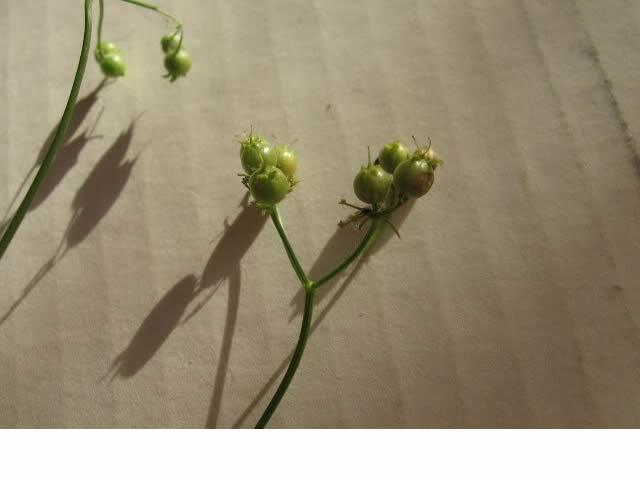 Récolte des semences, plante par plante Corian11