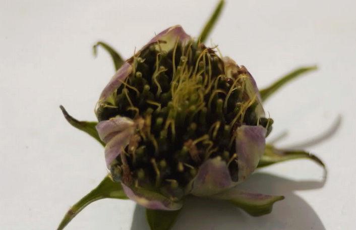 Récolte des semences, plante par plante Cos10