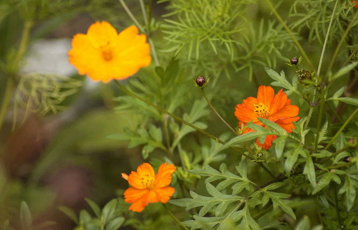 Récolte des semences, plante par plante Cosm10