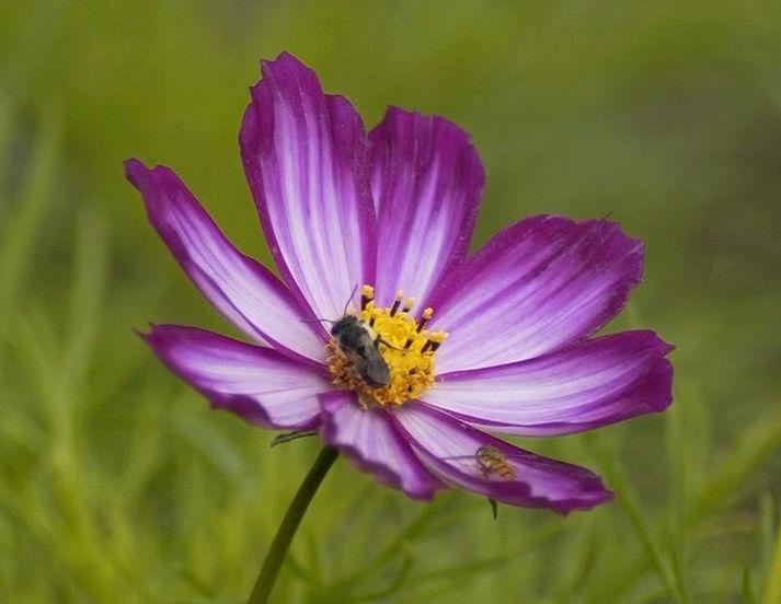 Récolte des semences, plante par plante Cosmos11