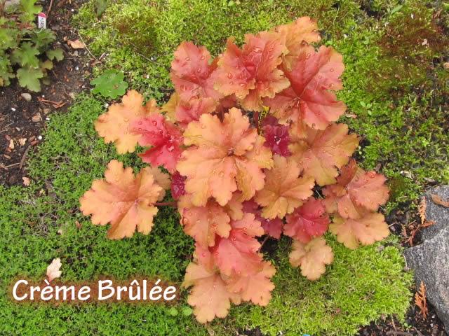 Guide d'identification: Heuchères, tiarelles & heucherellas Cremeb10