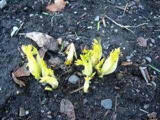 Guide d'identification: jeunes pousses, feuillages et fleurs Dicent10