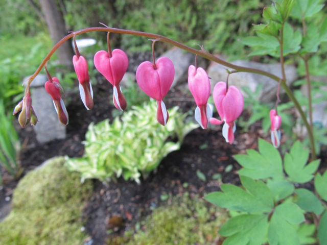 Guide d'identification: jeunes pousses, feuillages et fleurs Dicent15