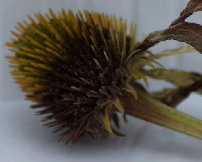 Récolte des semences, plante par plante - Page 2 Echina11