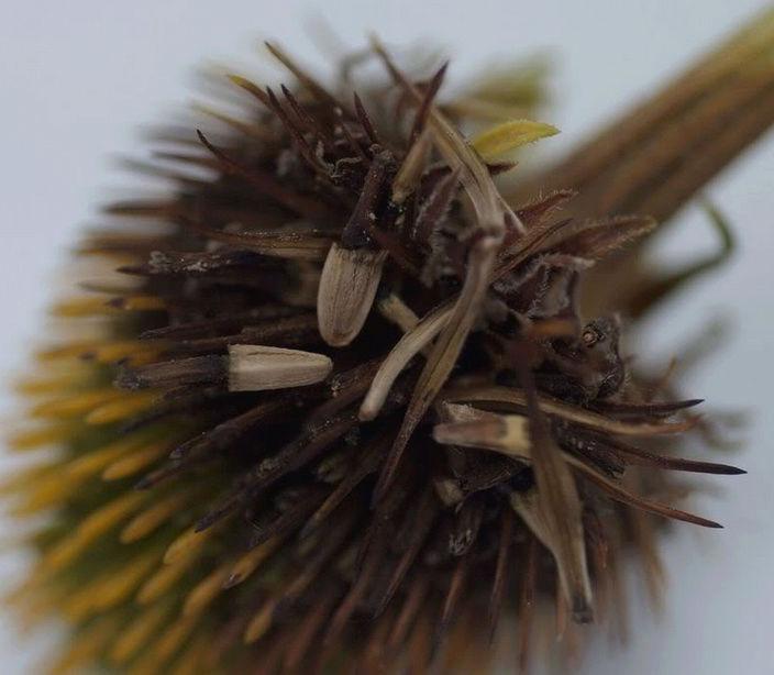Récolte des semences, plante par plante - Page 2 Echina12